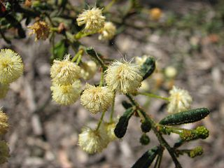<i>Acacia aspera</i> species of plant