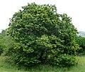 Acacia ataxacantha, habitus, Skeerpoort.jpg