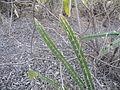 Acanthocereus tetragonus (5777613948).jpg