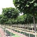 Acer platanoides 'Globosa'.jpg