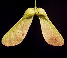 jawor klon owoce orzeszki skrzydełka Wikipedia