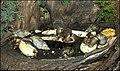 Achatina-fulica-Jerusalem-Biblical-Zoo-IZE-937.jpg