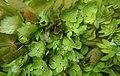 Ache nodiflore (Helosciadium nodiflorum) dans les Baillons aout 2017a 03.jpg