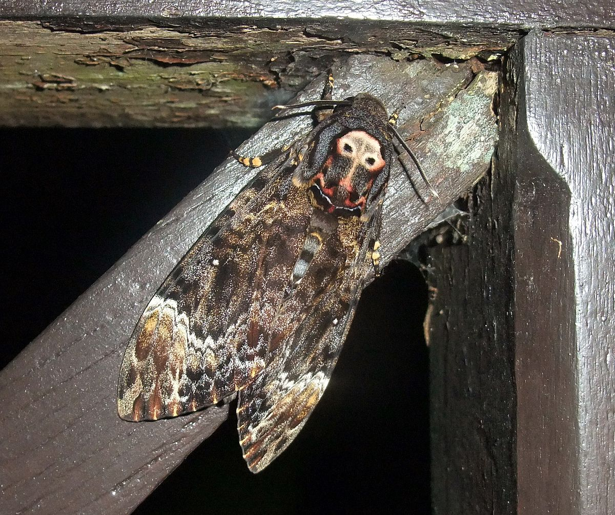 deaths head hawkmoth wings closed a1aa- FREE SHIPPING Pack of 2 hawkmoths acherontia lachesis
