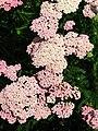 Achillea (cultivar) 02.JPG