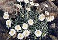 Achillea ageratifolia ssp ageratifolia.jpg