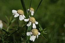 Achillea ptarmica 036.jpg