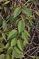 Achyranthes aspera - Agri-Horticultural Society of India - Alipore - Kolkata 2013-01-05 2311.JPG