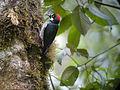 Acorn Woodpecker, San Gerardo de Dota, Costa Rica (3977649363).jpg