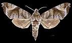 Acosmeryx anceus anceus MHNT CUT 2010 0 230 Sulawesi Female dorsal.jpg