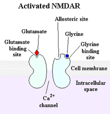 220px Activated NMDAR