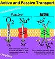 Active-passive transport.jpg
