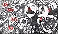 Adénocyte d' Argyrodes argyrodes, organites.jpg