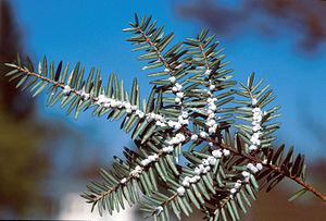 Adelgidae - Hemlock woolly adelgid