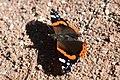 Admiral butterfly (Vanessa atalanta).jpg