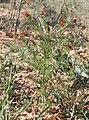 Adonis aestivalis plant (07).jpeg