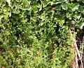 Adonis aestivalis plant (09).jpeg