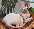Adult cat Sphynx. img 007.jpg