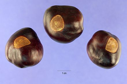 Ohio buckeyes, the seed from the Ohio buckeye tree. Aesculus glabra nuts.jpg