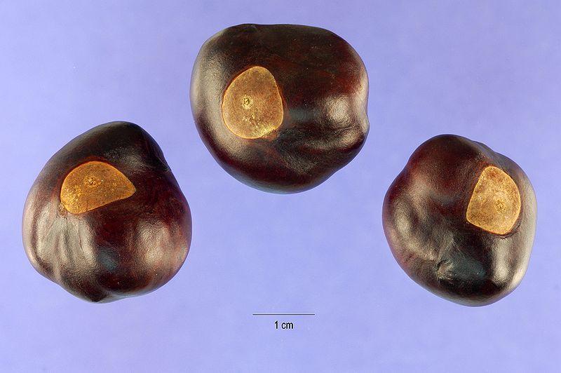 Aesculus glabra nuts.jpg