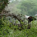 African Fish Eagle (Haliaeetus vocifer) (33461943992).jpg