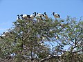 African Sacred Ibis colony in Montagu, Western Cape b.JPG