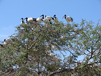 African sacred ibis - The breeding colony in Montagu, Western Cape, South Africa