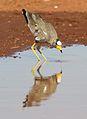 African Wattled Lapwing or Senegal Wattled Plover, Vanellus senegallus at Krugersdorp Game Reserve, Gauteng, South Africa (31539796166).jpg