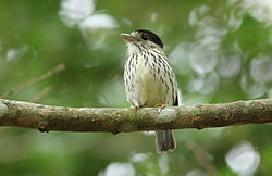 African broadbill, Smithornis capensis, at uMkhuze Game Reserve, kwaZulu-Natal, South Africa (15208104869).jpg