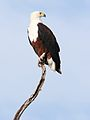 African fish eagle, Haliaeetus vocifer, at Chobe National Park, Botswana (33516613471).jpg
