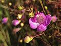 Agalinis tenuifolia - Slender False Foxglove.jpg
