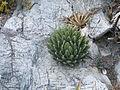 Agave victoriae-reginae (5664104320).jpg