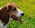 Aggie On Yellow - Flickr - patchattack.jpg