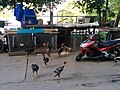 Agressive birds along the Red River in Hanoi 11.jpg