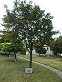Ajka-Weiz 1996 plaque and memorial tree, 2019 Ajka.jpg