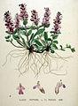 Ajuga reptans — Flora Batava — Volume v20.jpg