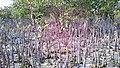 Al khore Mangrove forest (Purpule Island) - panoramio (48).jpg