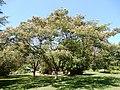 Albizia julibrissin, Morris Arboretum 01.jpg