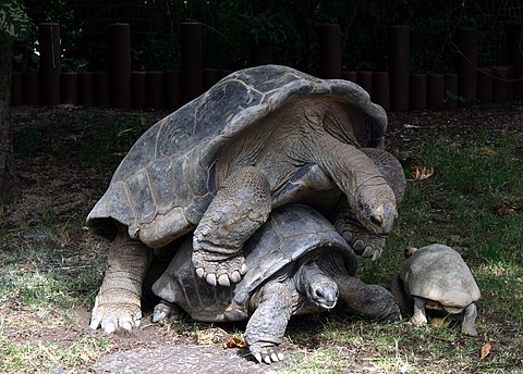 Aldabra mating 2.JPG