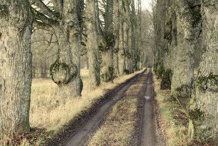 Linden allee to Lauki cemetery in Jaunpils Municipality, Latvia. Nature monument.