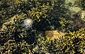Algae, sea gooseberry and jellyfish in Brofjorden 2.jpg
