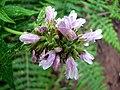 Algaritofe (Cedronella canariensis).JPG
