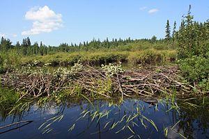 Beaver dam - Beaver dam at Algonquin Park in Ontario, Canada