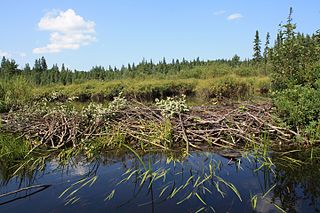 Beaver dam dam constructed by beavers