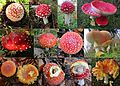 All growing and demolition stadia of the Amanita Muscaria (Fly Agaric mushroom. Quintessential it is a toadstool because of its poissoness. Syn. Fly amanita, D= Fliegenpilz, F= Amanite tue-mouches, NL= Vliegenzwam) can - panoramio.jpg