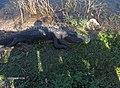 Alligator at Royal Palm^ - panoramio (3).jpg