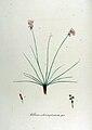 Allium schoenoprasum — Flora Batava — Volume v12.jpg