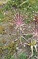 Allium schubertii Zucc.-1F.jpg