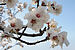 Almond tree 6310.jpg