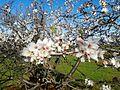 Almond tree Azilal Morocco.jpg